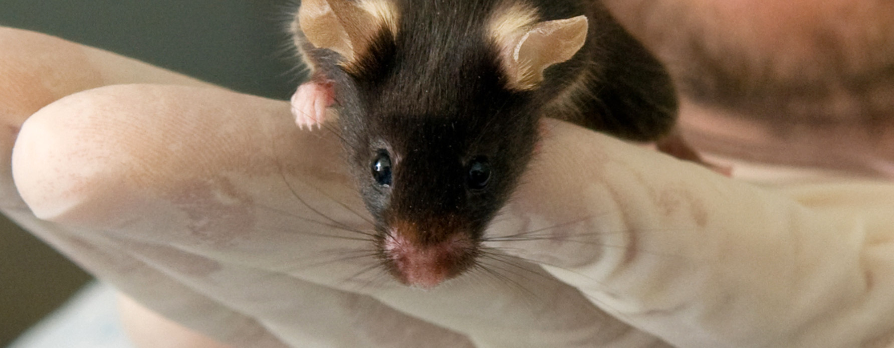 Rat resting in a gloved hand