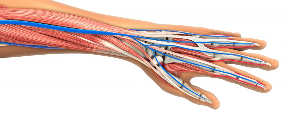 Digitally created arm showing muscles, bones, veins and arteries